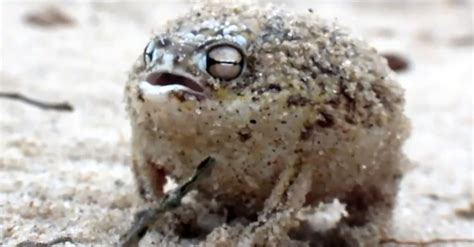 When You Hear This Tiny Frog Trying To Talk, Your Heart