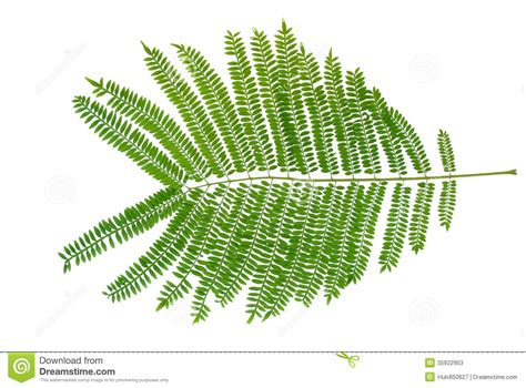 Mimosa Leaves stock image