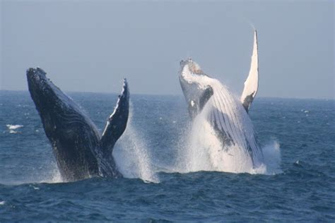 St Lucia Tours and Charters | Whale Watching in Richards