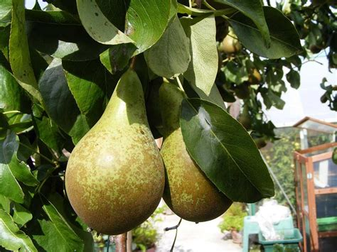 Conference Pear Tree - Dwarf Variety Great for Smaller