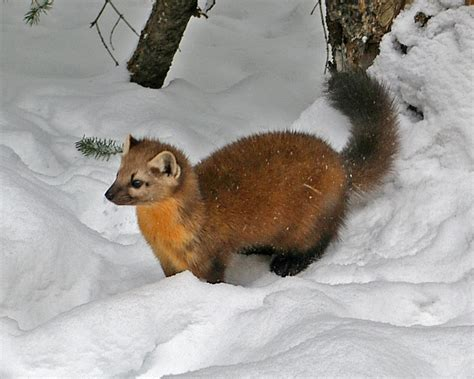 Marten and Fisher history and some interesting facts