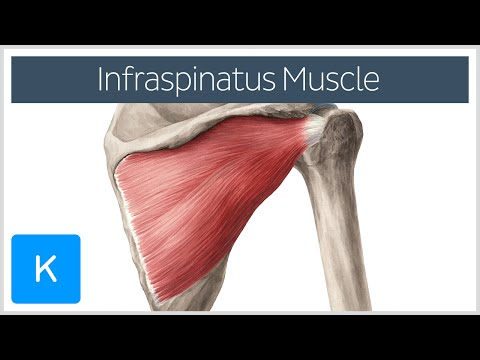 Test 1: Back Muscles Flashcards | Quizlet